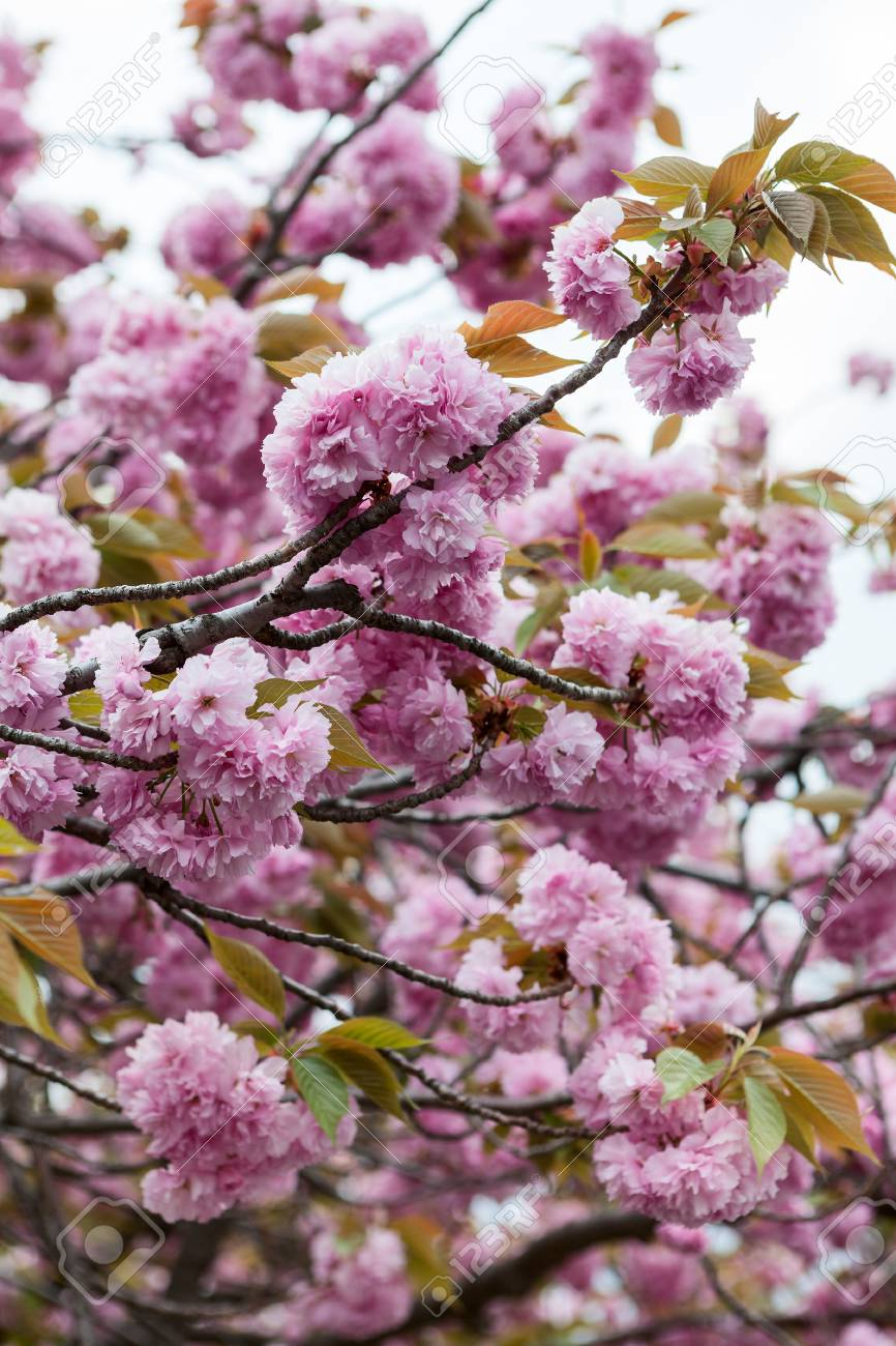 Blooming Cherry Blossom Trees With Pink Flowers Close Up View Stock