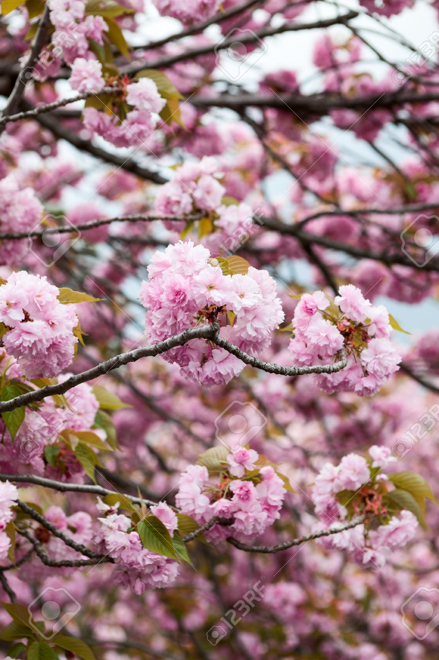Japanese Tree With Pink Flowers Image Collections Fresh Lotus Flowers