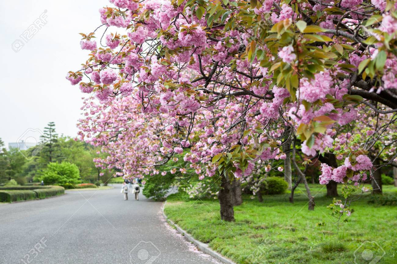 Garden with blooming cherry blossom trees with pink flowers stock garden with blooming cherry blossom trees with pink flowers spring season is in central park mightylinksfo