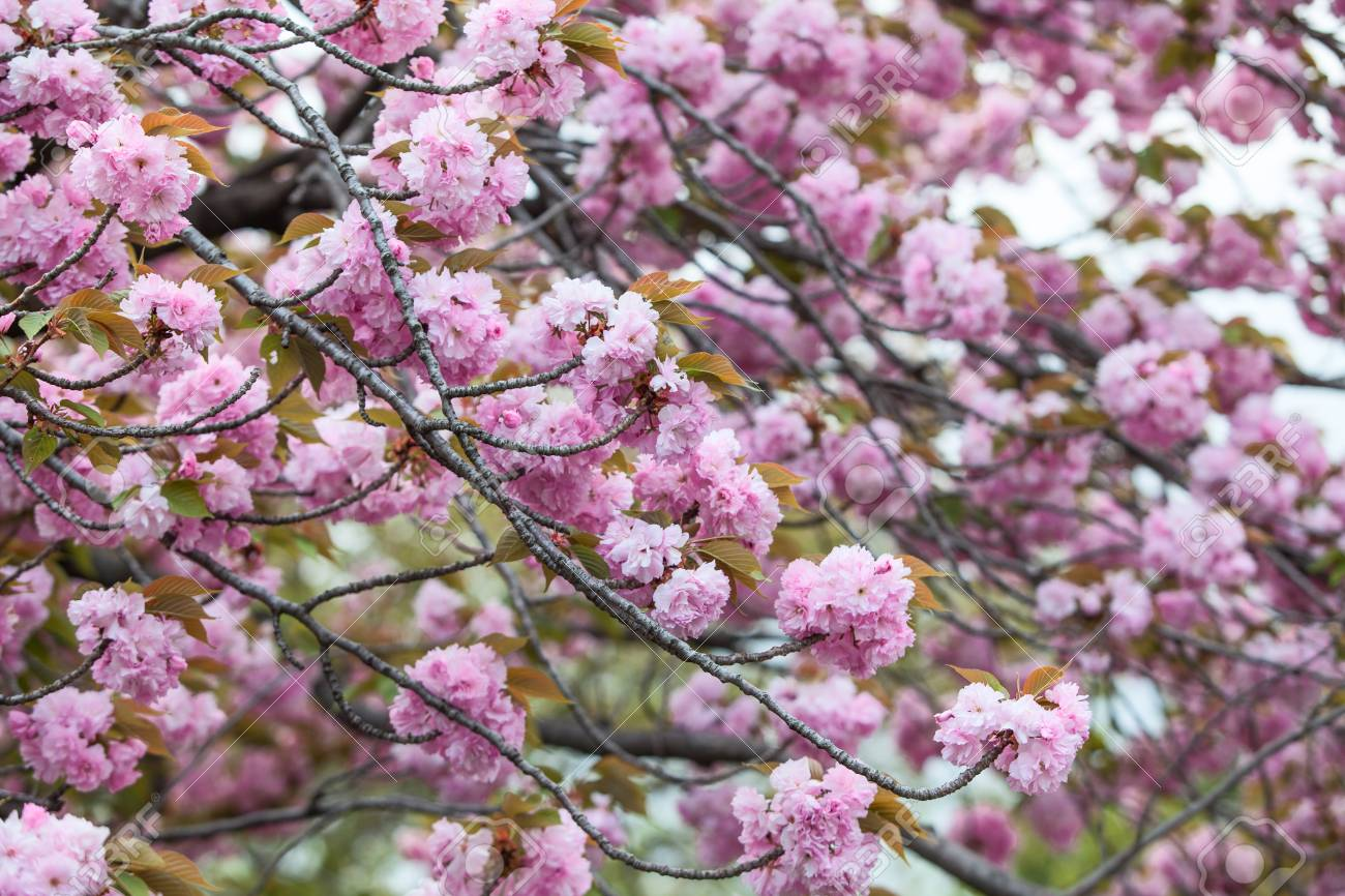 Background of pink flowers of blooming sakura tree spring season background of pink flowers of blooming sakura tree spring season stock photo 81160380 mightylinksfo