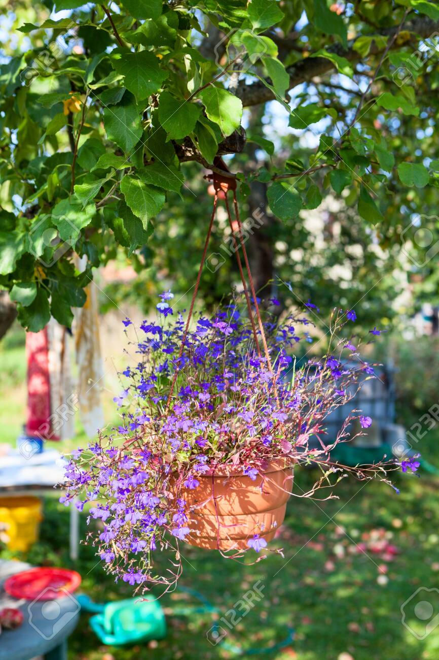 Petunias In Hanging Pot Basket With Flowers In On Apple Tree Stock Photo Picture And Royalty Free Image Image 131033586