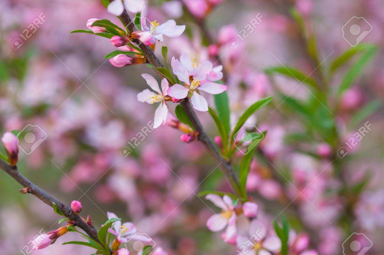 Pink Flowers Of Wild Rosemary Shrub Wild Rosemary Blooming Stock