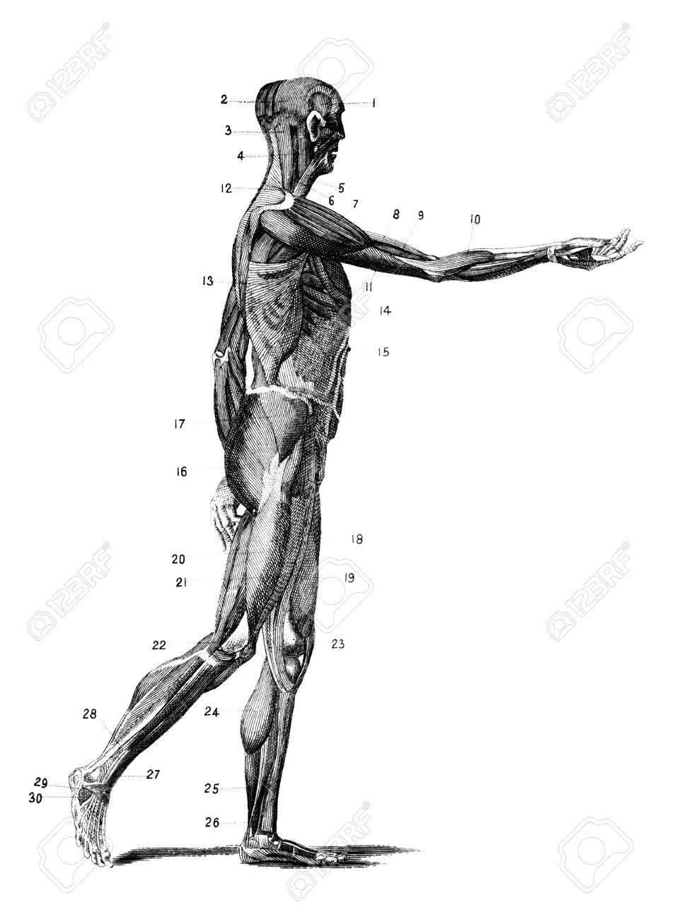 Grabado Anatómica Del Siglo 19 De Los Músculos Del Cuerpo Humano ...