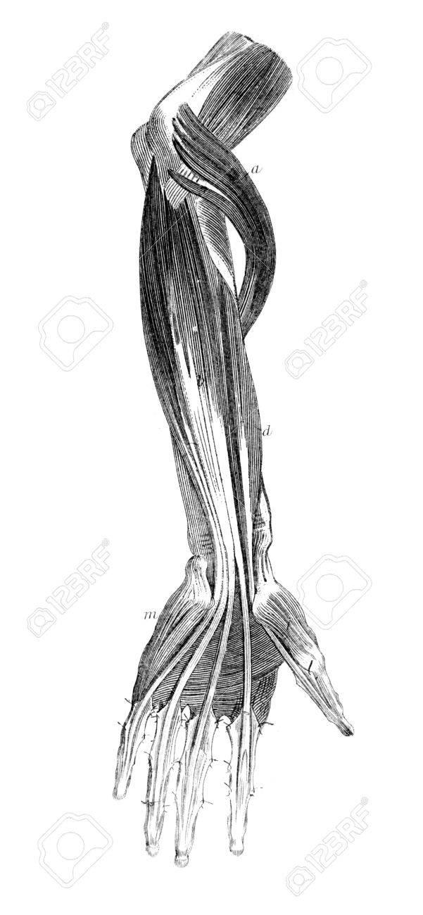 Grabado Victoriana De Los Músculos Del Brazo Humano. Imagen ...