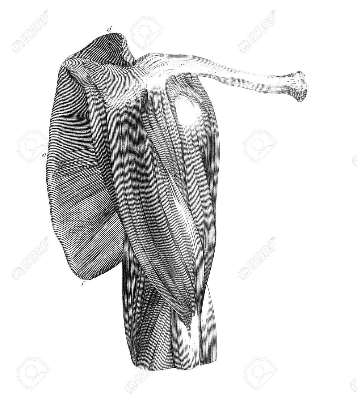 El Grabado De Estilo Victoriano De Los Músculos Del Hombro Humano ...