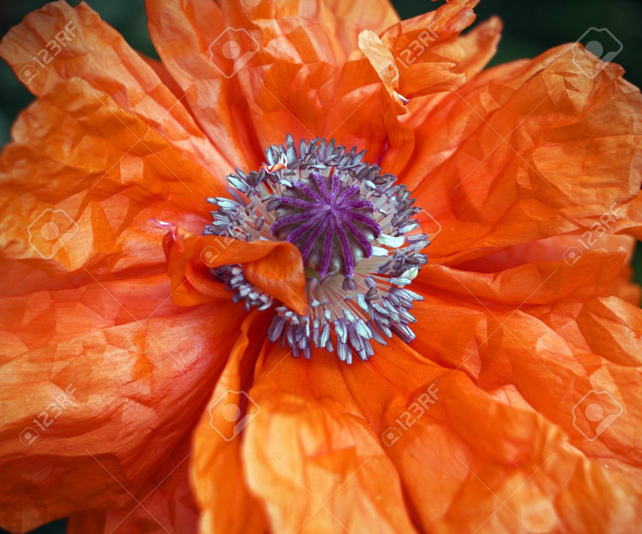 Poppy Flower Scarlet Petals Like Sails Game Of Light And Color