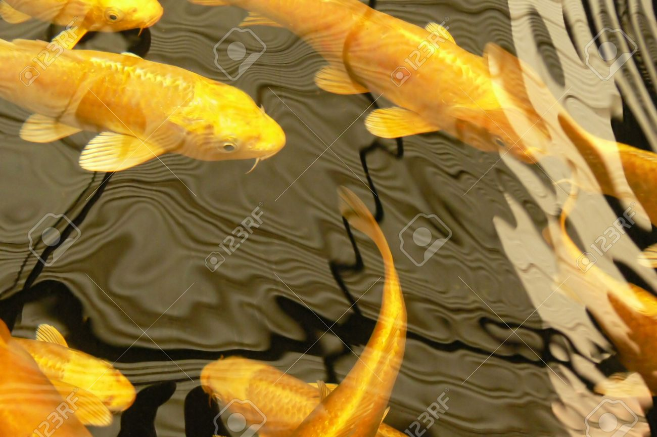 golden yellow Koi fish swimming with reflections on water surface Stock Photo - 1052839