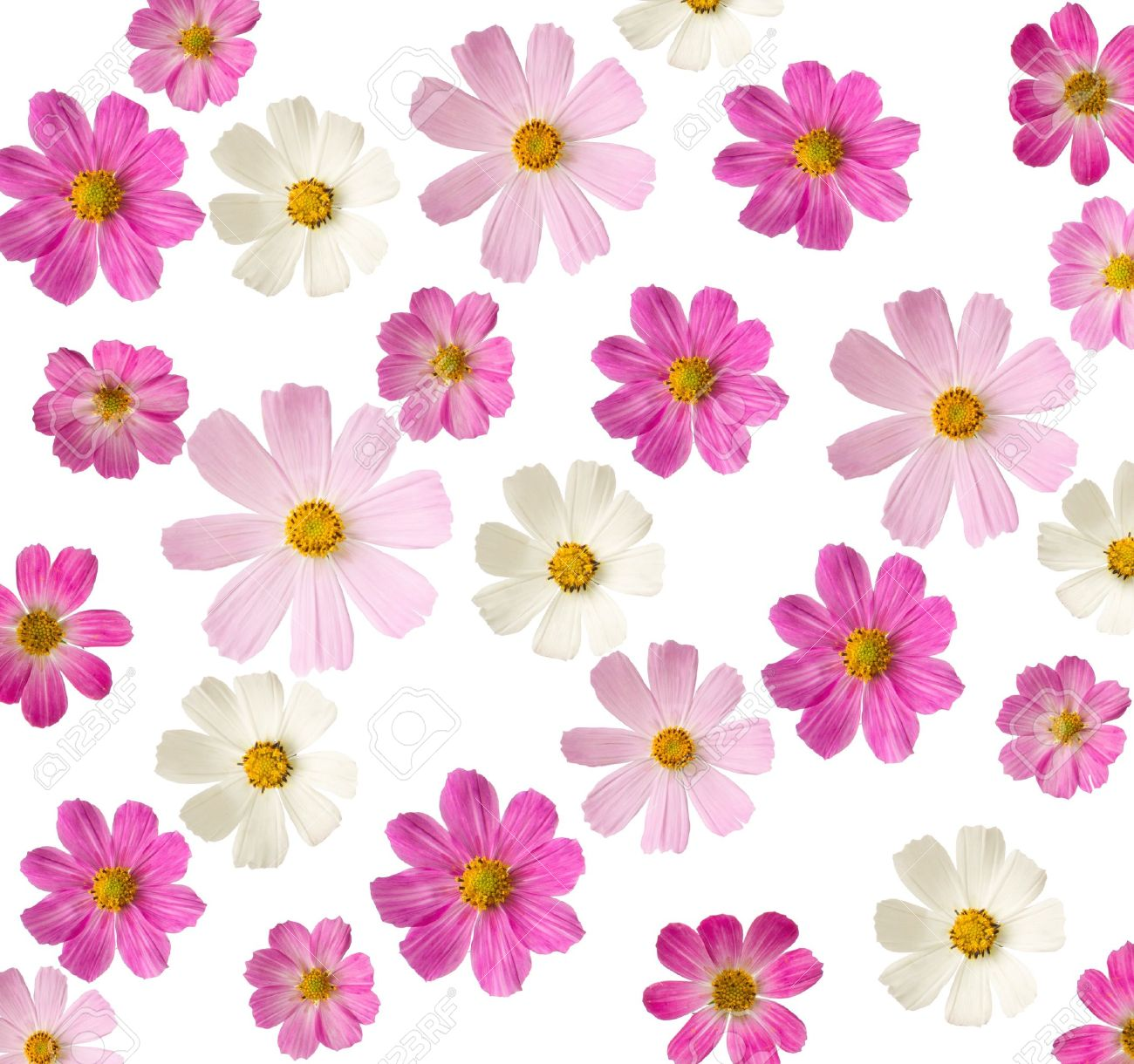 Floral Background Pink Flowers Isolated On A White Background