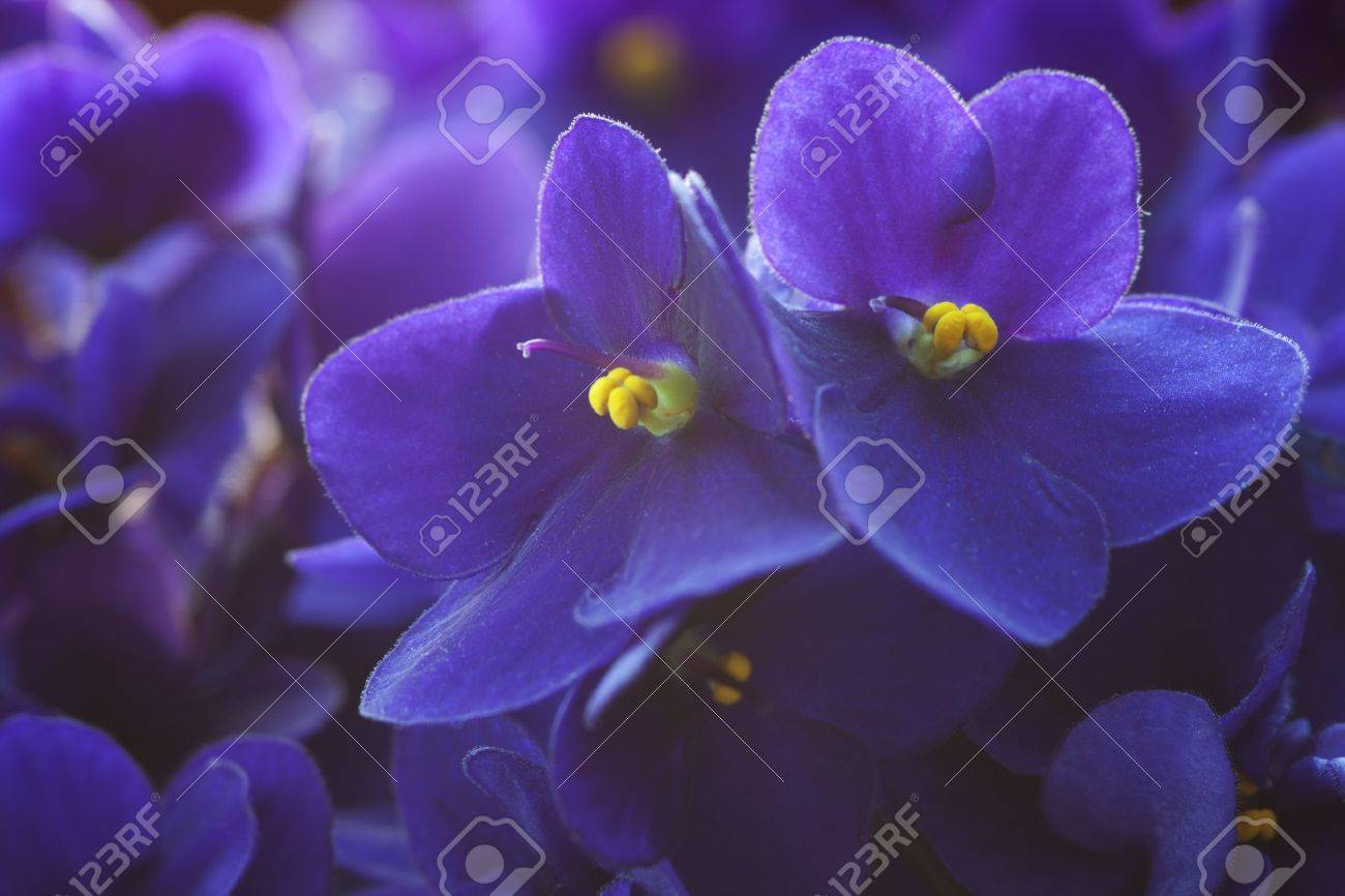 violet flowers  a very shallow depth of field, focus on the right flower Stock Photo - 14534430
