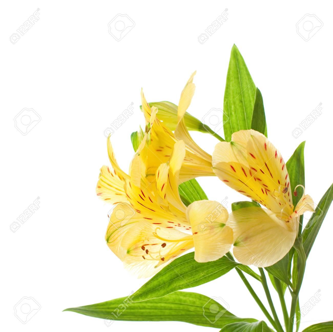 Alstroemeria flowers isolated on white background stock photo alstroemeria flowers isolated on white background stock photo 15311950 mightylinksfo