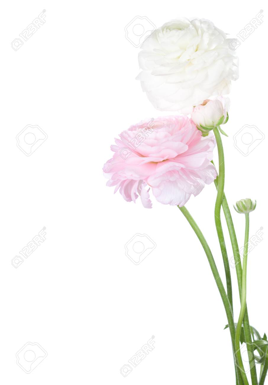 Two flowers ranunculus isolated on white stock photo picture and two flowers ranunculus isolated on white stock photo 35757174 mightylinksfo