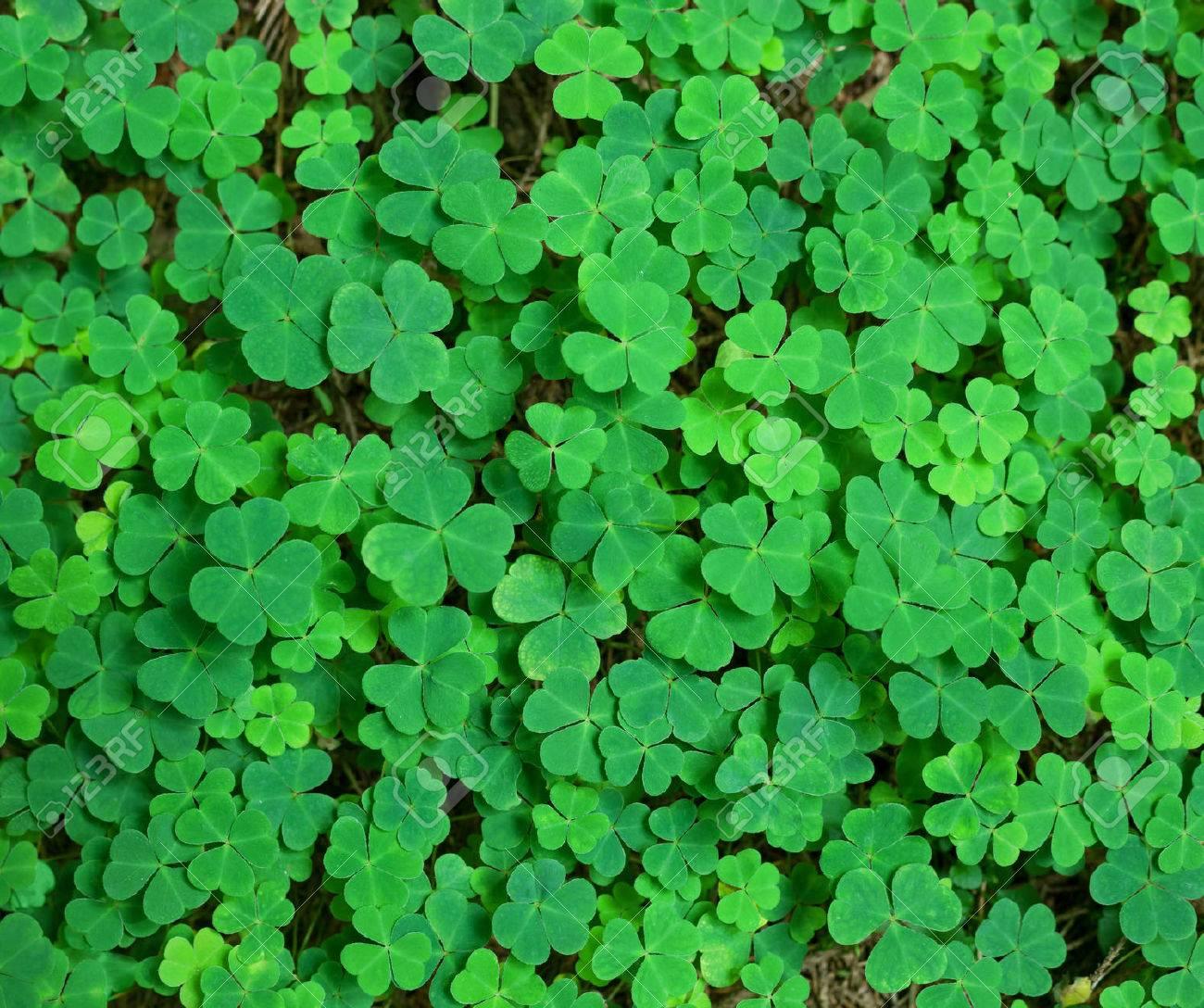 green background with three-leaved shamrocks. St.Patrick's day holiday symbol. - 36564730