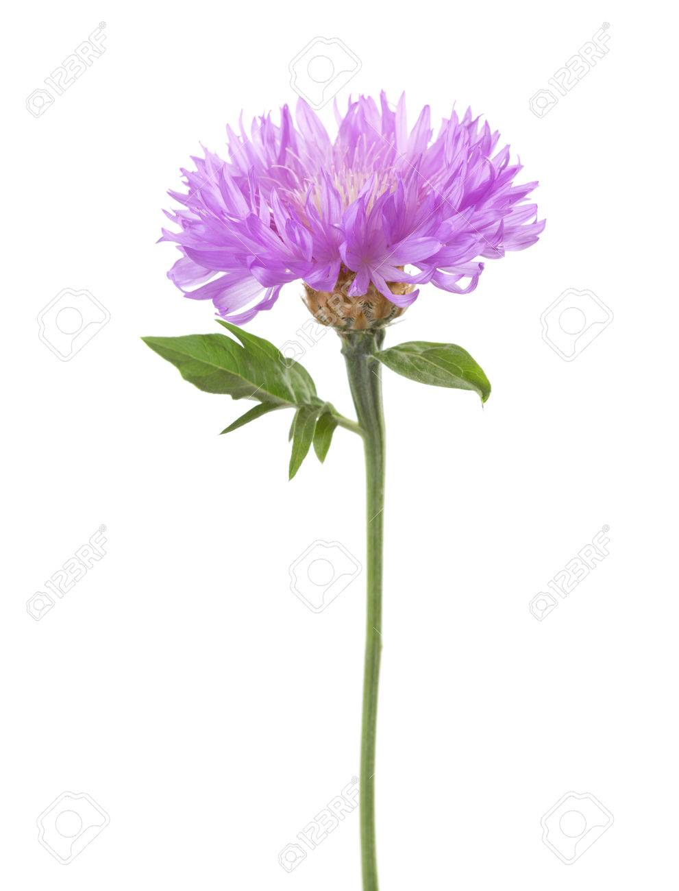 Light lilac flower isolated on white background persian cornflower light lilac flower isolated on white background persian cornflower stok fotoraf 52829153 mightylinksfo