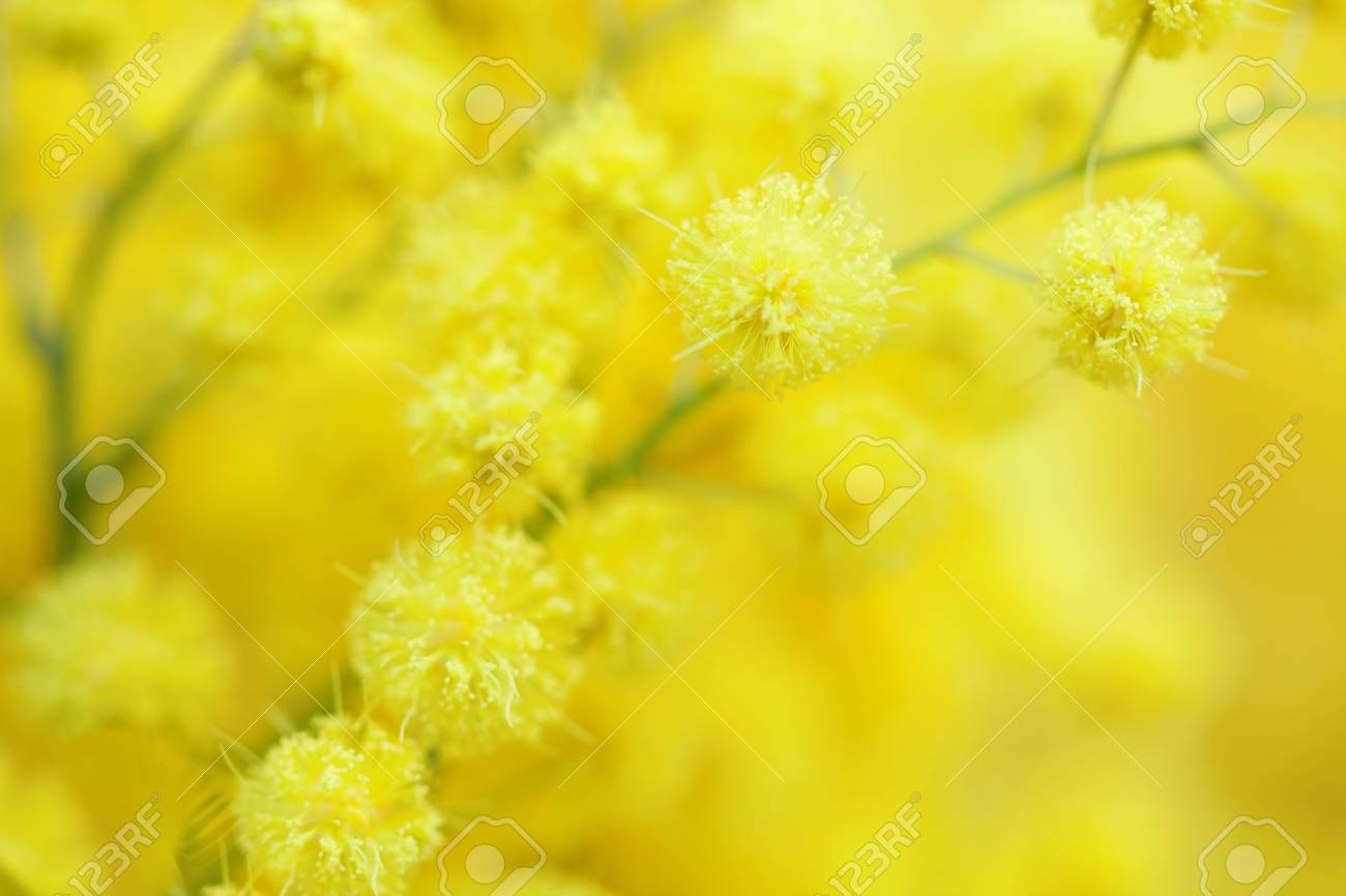 Yellow mimosa flower close up very shallow depth of field stock stock photo yellow mimosa flower close up very shallow depth of field mightylinksfo