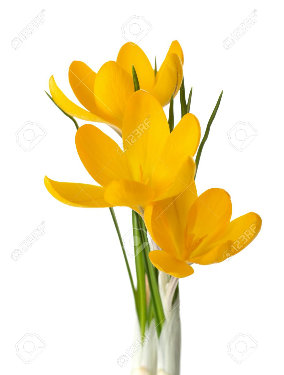 Three Yellow Crocus Flowers Isolated On White Stock Photo Picture