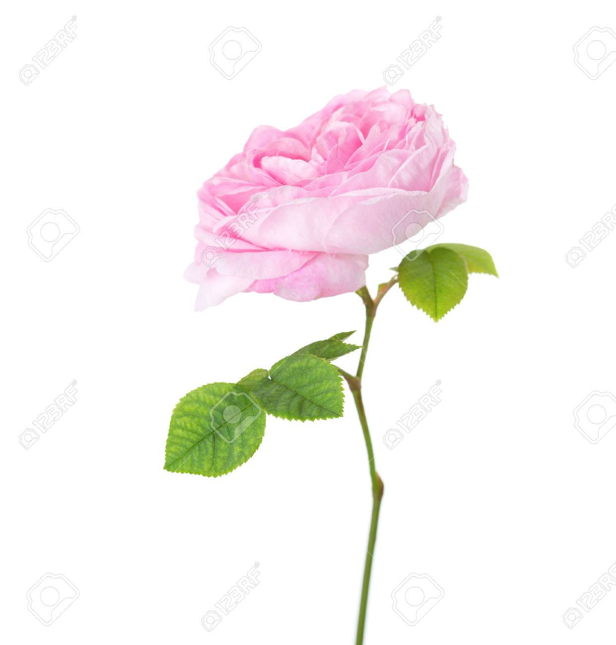 Light Pink Rose Isolated On White Tea Rose Stock Photo Picture And