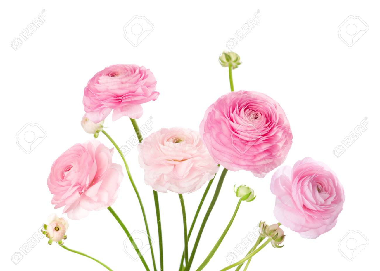 Light Pink Flowers Isolated On White Ranunculus Stock Photo