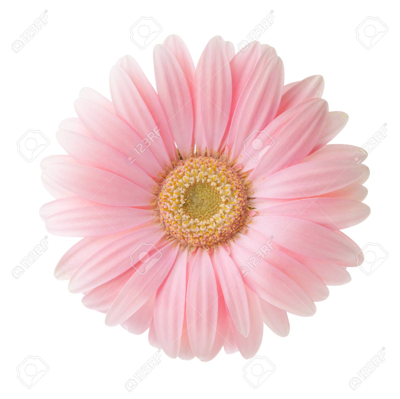 Light Pink Gerbera Flower Isolated On White Background. Stock Photo,  Picture And Royalty Free Image. Image 99443368.