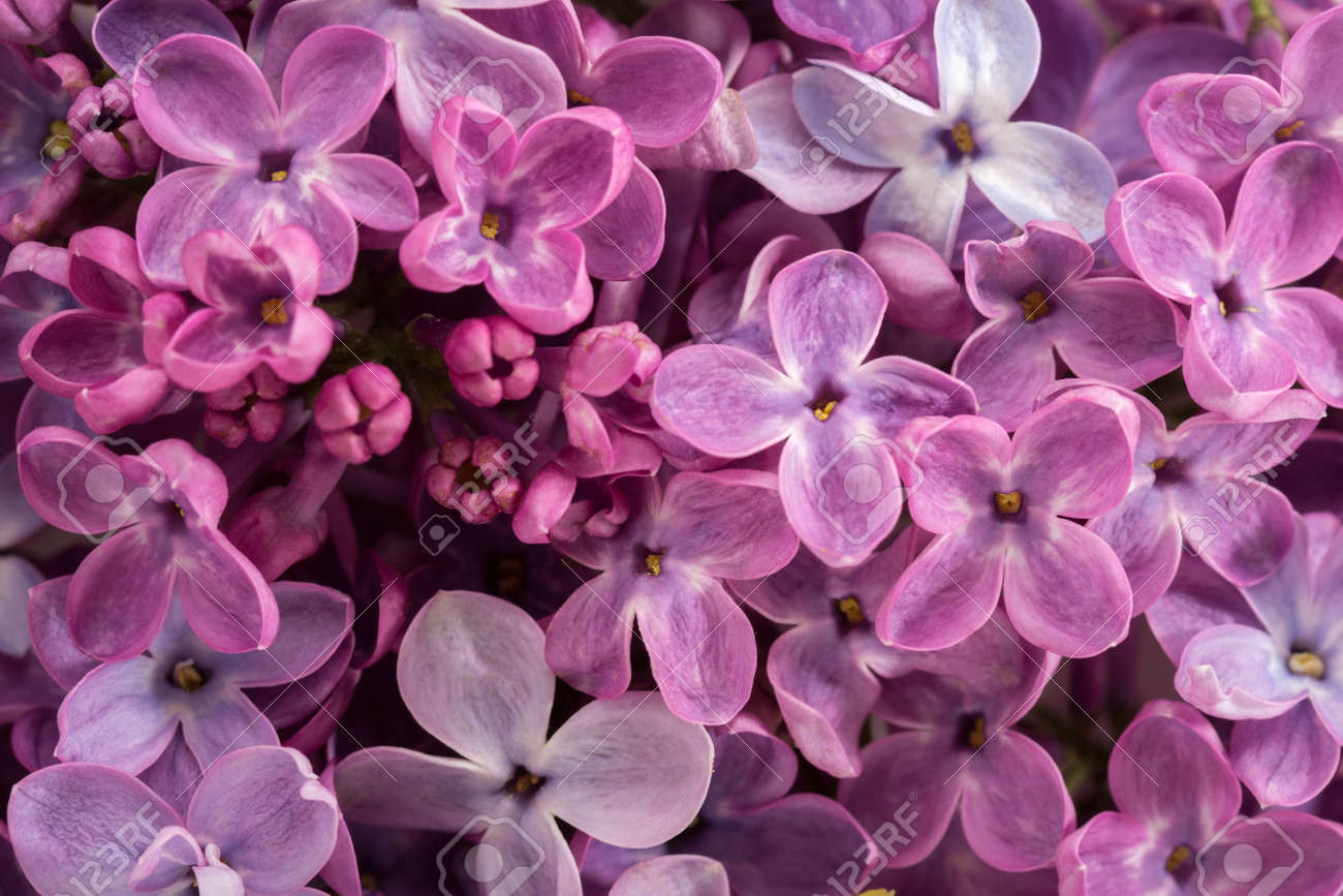 Floral background of tiny flowers of Lilac. Flat lay. Selective focus. - 168987133