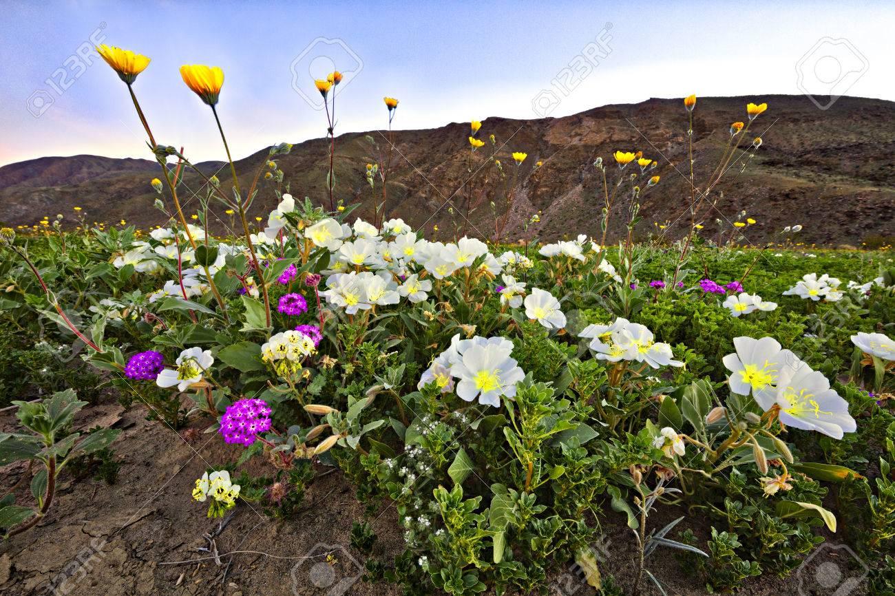 Blooming mojave desert at anza borrego springs stock photo picture blooming mojave desert at anza borrego springs stock photo 76531536 mightylinksfo Images