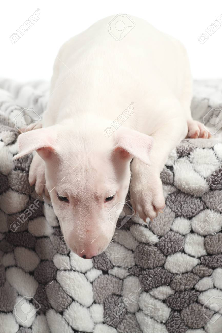 Bull terrier puppy on a blanket watching down with a white background Stock Photo - 17100970