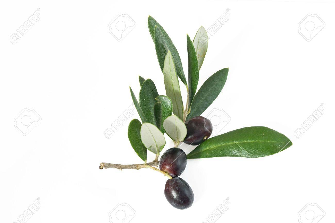 branch with black ripe olives isolated on white background Stock Photo - 5691294