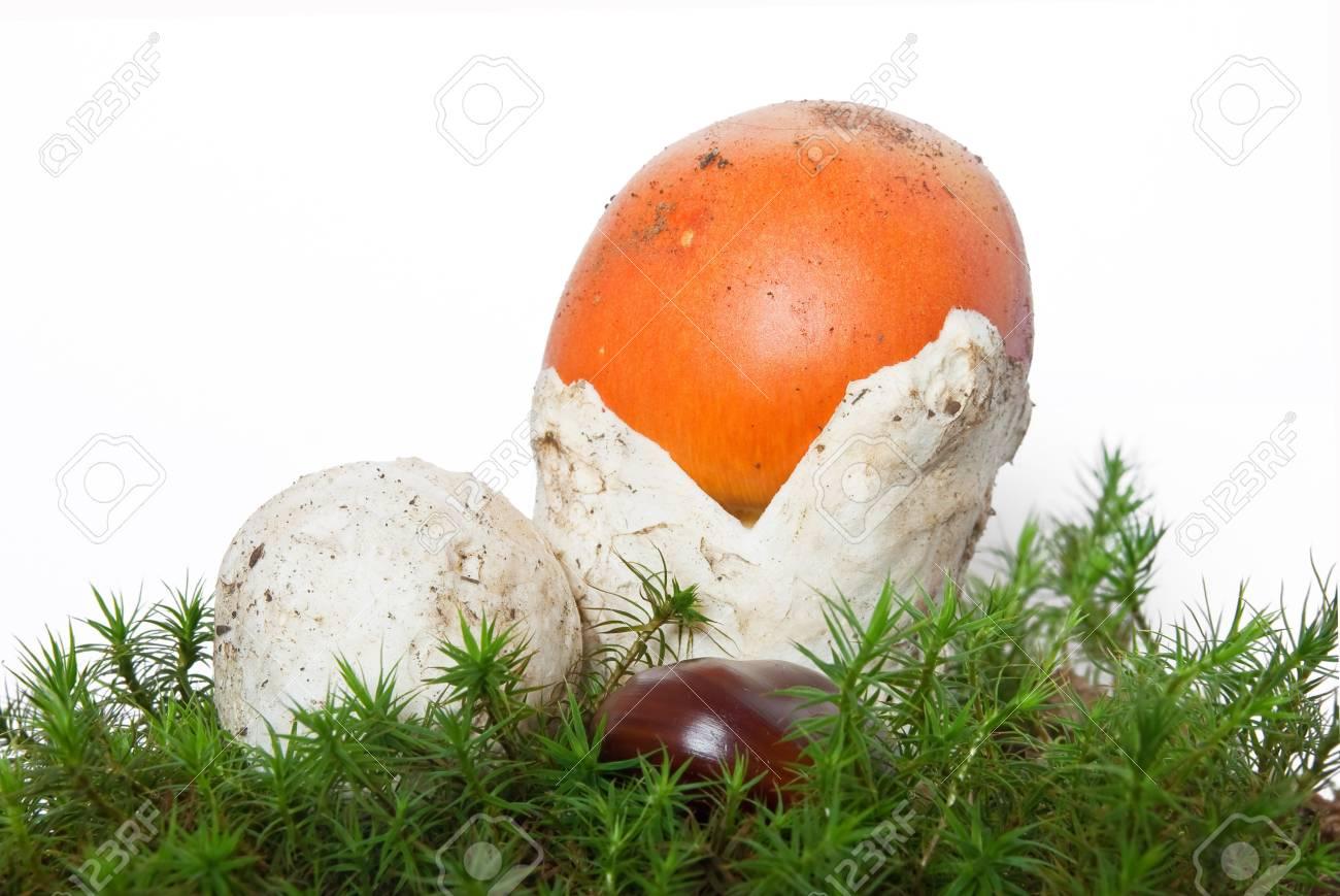 two beautiful young Amanita Caesarea mushroom on musk isolated on white background Stock Photo - 5733431
