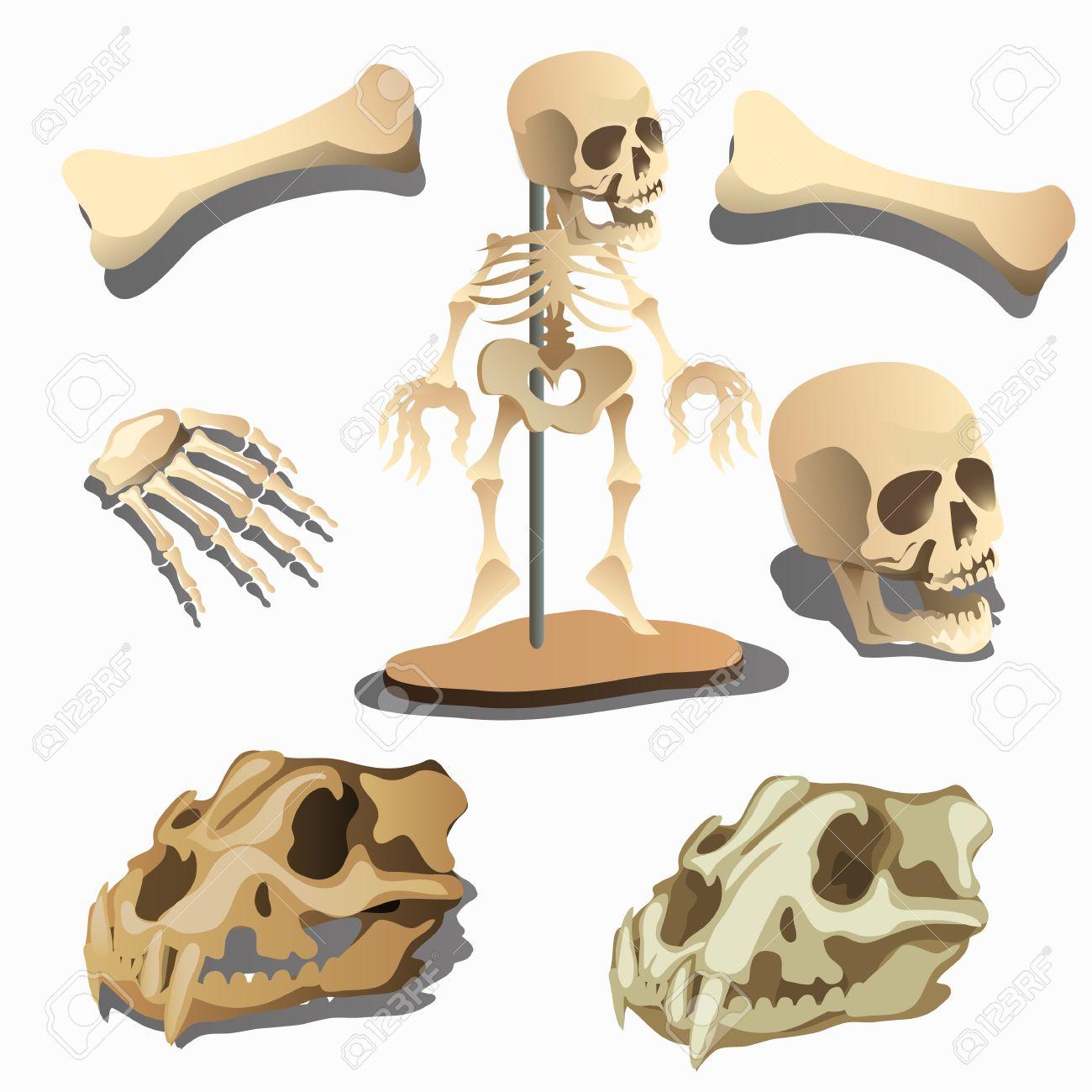 Menschliches Skelett Und Körperteile Und Schädel Der Alten Tiere ...