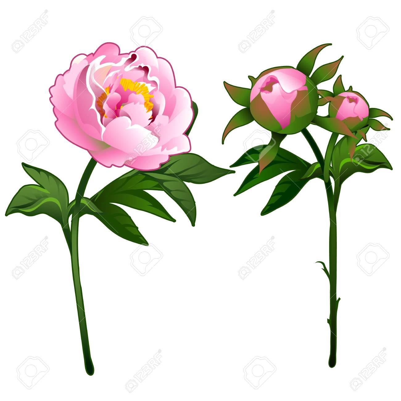 咲く牡丹と以外に咲くピンクのバ...
