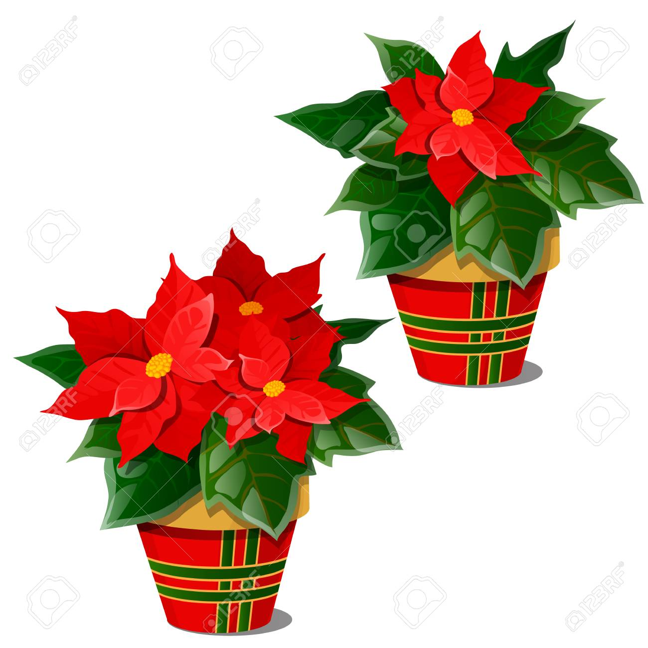 The Flowering Poinsettia Plants In Pots Isolated On White