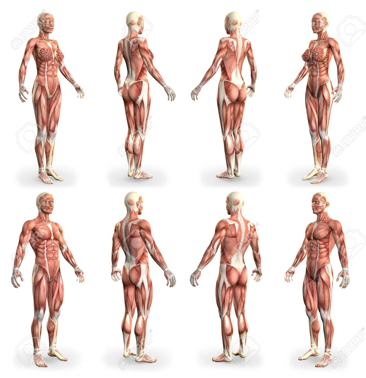 8 hi-res images in 1, male and female bodies with muscle map - physiology concept for healthcare - cg medical 3D illustration isolated on white - 154408015