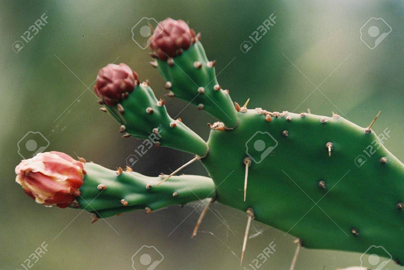 Dornige Pflanze Mit Dicken Fleischigen Stängeln Ohne Blätter