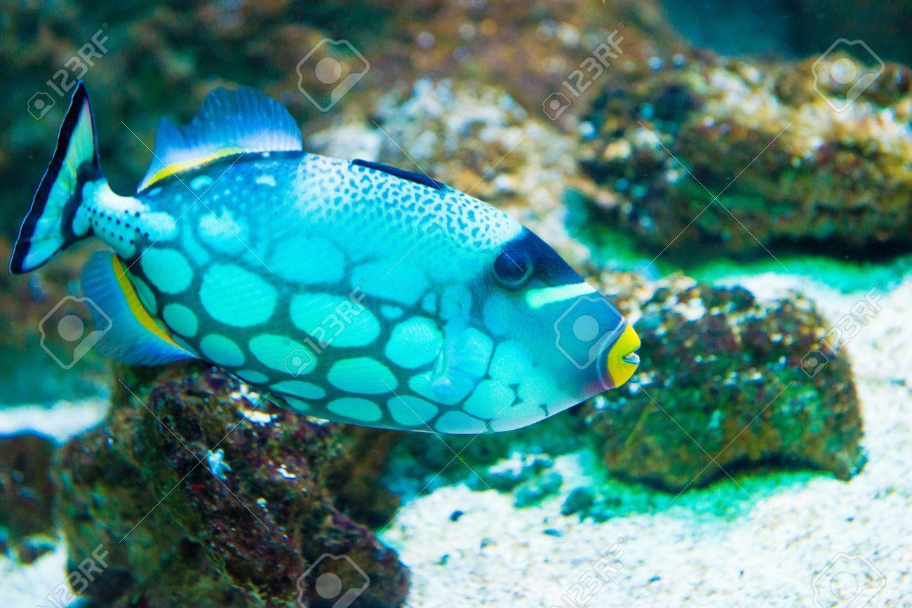saltwater fish clown triggerfish balistoides conspicillum