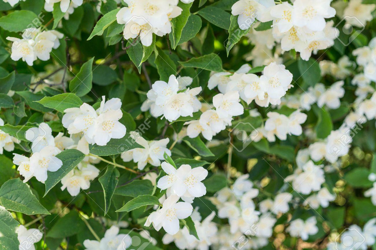 Bush blooming jasmine white flowers stock photo picture and bush blooming jasmine white flowers stock photo 67188520 mightylinksfo