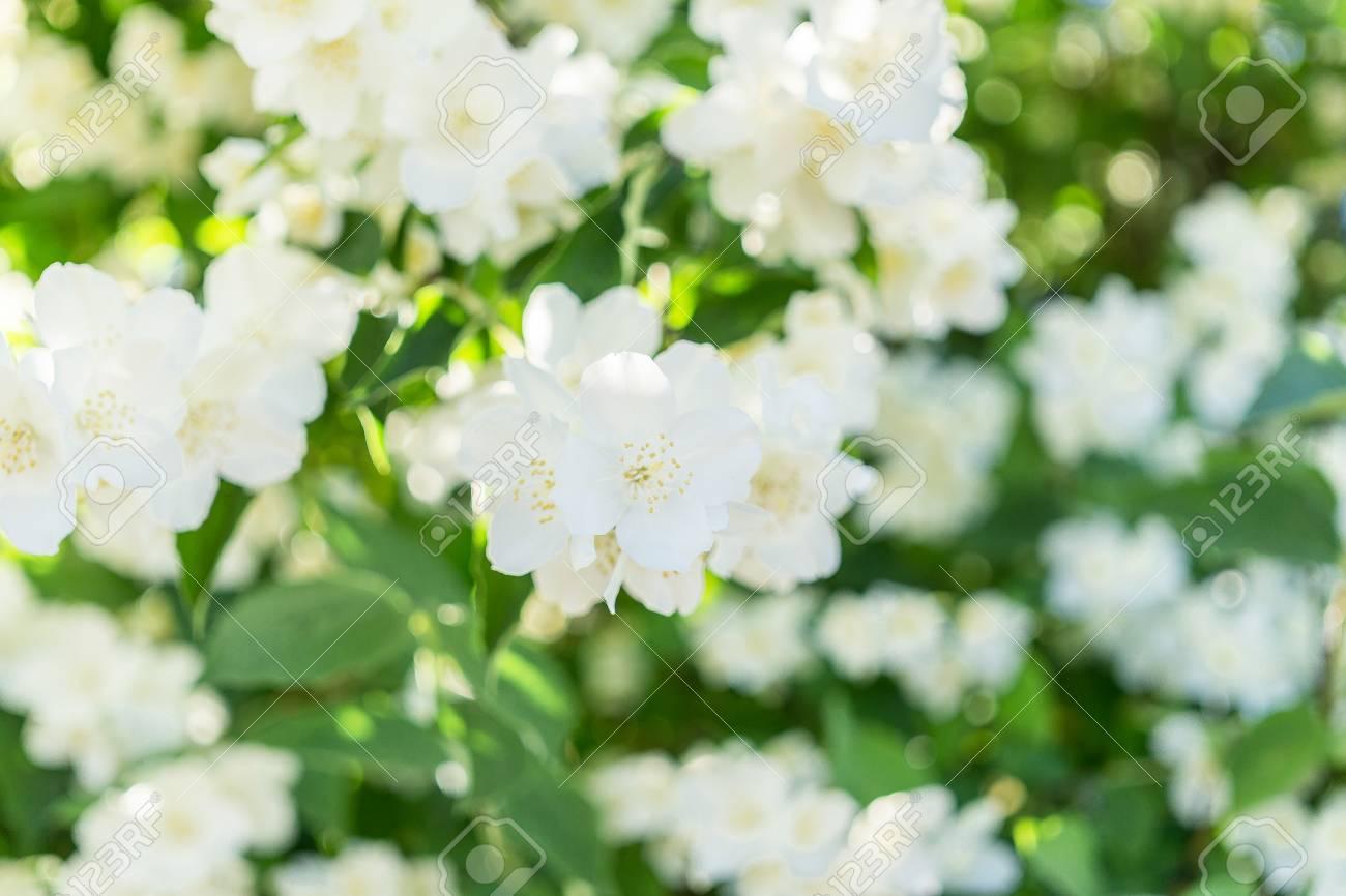 Bush blooming jasmine white flowers stock photo picture and bush blooming jasmine white flowers stock photo 67188107 izmirmasajfo