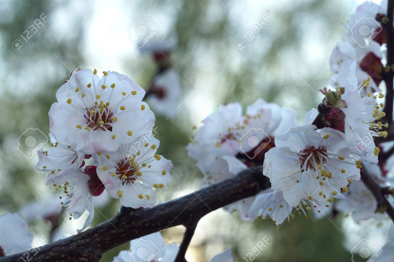 Apricot tree blooms on a spring day white flowers branch no leaves apricot tree blooms on a spring day white flowers branch no leaves closeup mightylinksfo