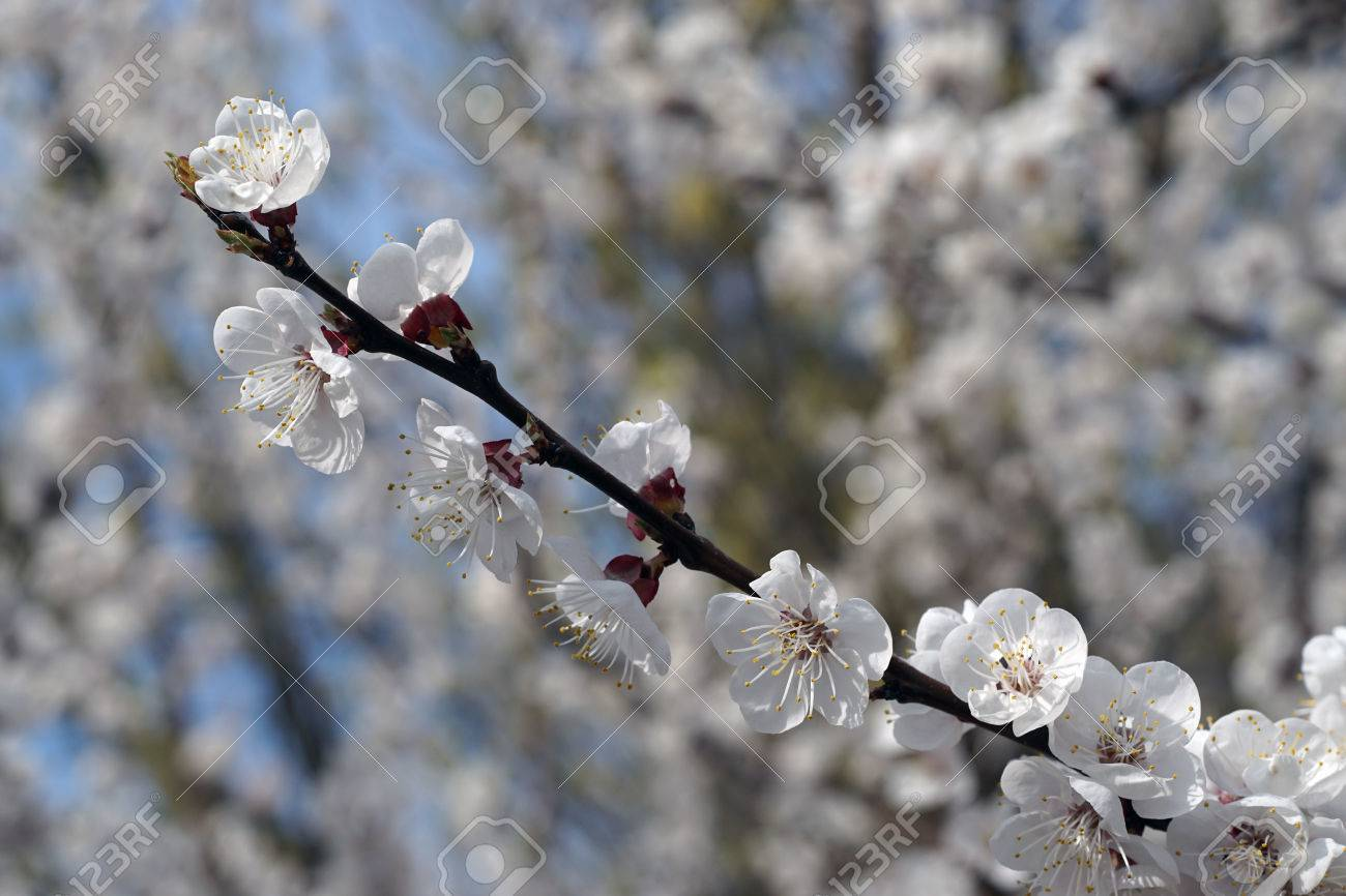 Apricot Tree Blooms On A Spring Day White Flowers Branch No