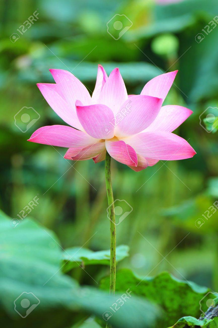 pink lotus flower stock photo, picture and royalty free image, Beautiful flower