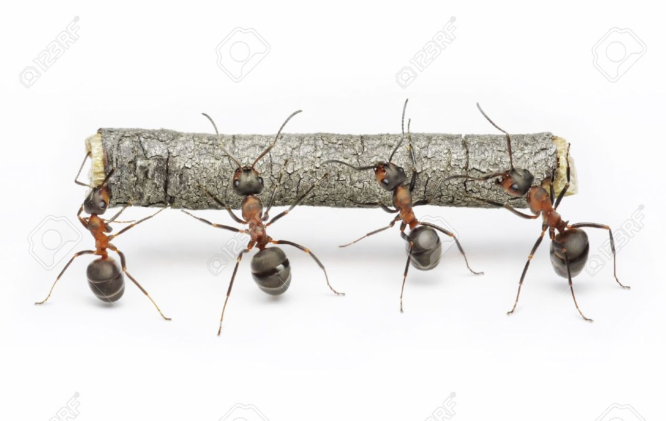 team of ants carries log, work in cooperation,  teamwork Stock Photo - 9289857