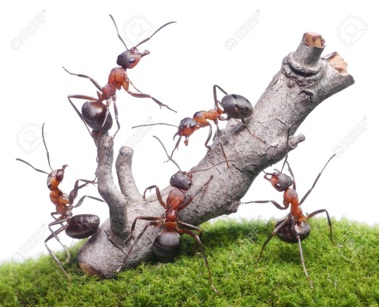 ants bring down weathered tree, teamwork isolated on white background Stock Photo - 19971191
