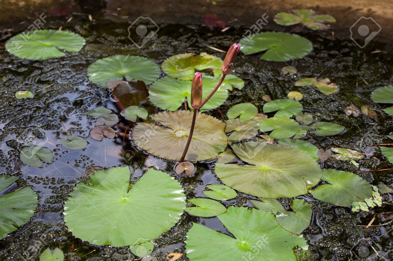 Asian Pink Buds Lotus Flowers In The Pond Stock Photo Picture And