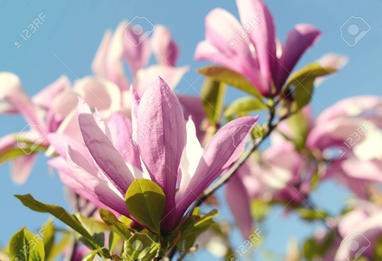Romantic Spring Seasonal Background With Magnolia Flowers Blooming
