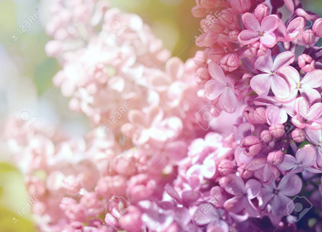 Lilac Flowers Purple Spring Flowers Floral Background Stock Photo