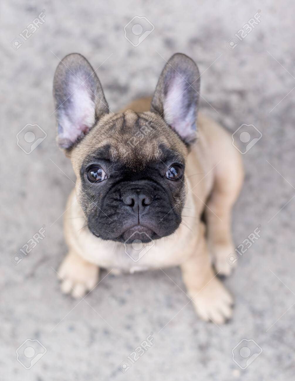 Adorable French Bulldog Puppy Beige Color Portrait Of Cute Little Stock Photo Picture And Royalty Free Image Image 153358795