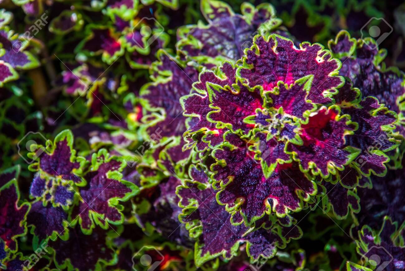 Solenostemon Westfield Coleus Plant Suitable For Making Background