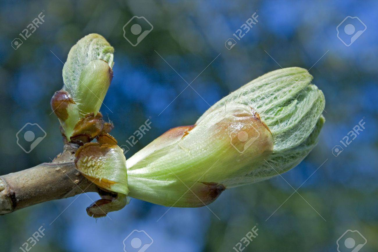 chestnut bud before come in flower - 3623972