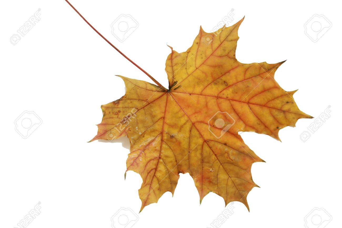 autumn leaf isolated on white - 7549023