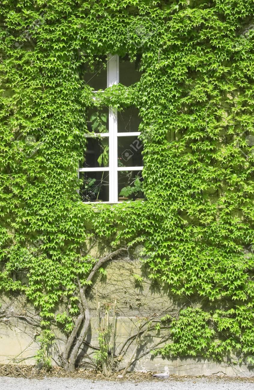 wall owergrown by vine leafs - 7556779