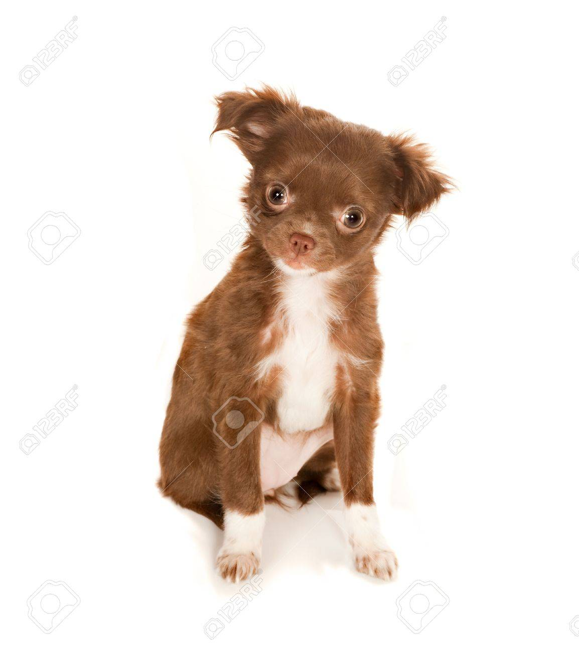 Brown Longhaired Chihuahua Puppy On A White Background