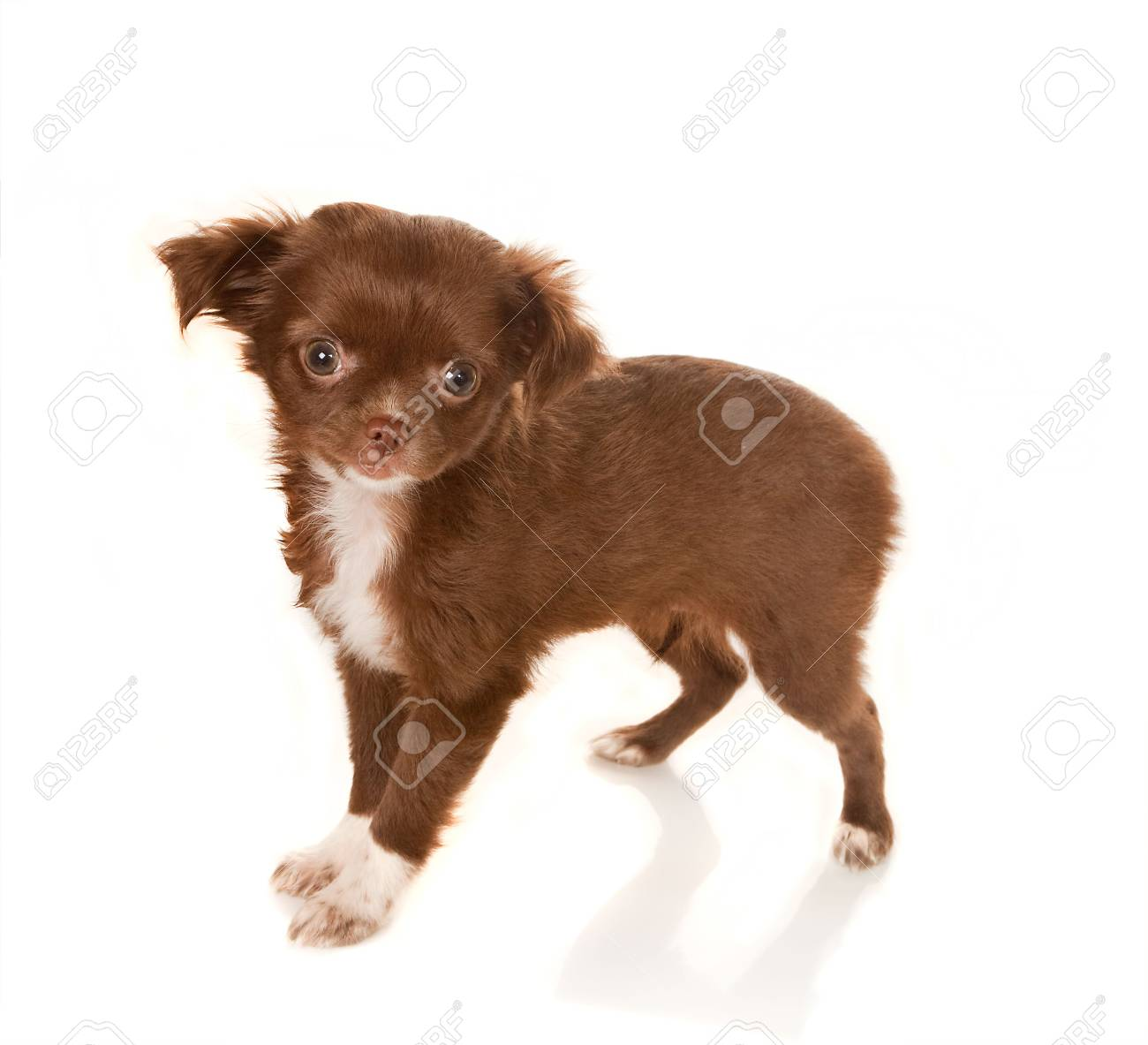 Brown longhaired Chihuahua puppy on a white background Stock Photo - 6341821